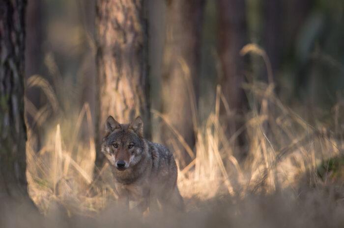 Ausstellung und Aktionen zum Wolf im NABU Besucherzentrum Moorhus