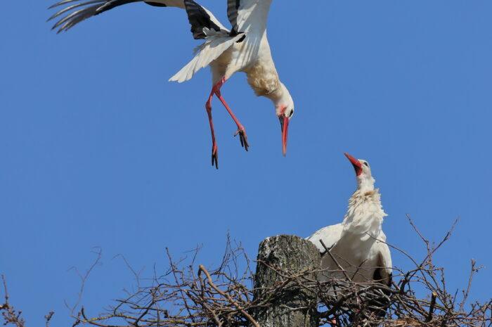 18 Storchenpaare brüten – Auch das neue Lidl-Nest in Hille ist wieder besetzt